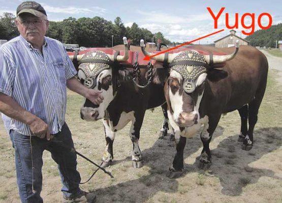 yunta-de-bueyes-yugo
